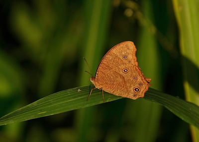 The Evening Brown Butterfly photographed at sunrise.