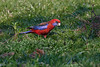 This northern form of Crimson Rosella seen feeding here on the flowers of the white clover, in the sunlit meadow on the edge of the rainforest, its usual habitat.