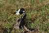 BUTCHERBIRD PIED  17<br /> The Pied Butcherbird about to devour the slug it had just caught seconds before.