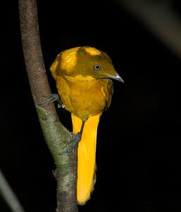 The smallest of the Australian bowerbirds, the male Golden Bowerbird. Image taken in very dark rainforest.