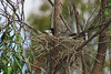 The female Grey Butcherbird brooding the eggs.