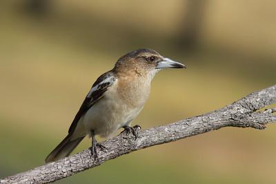 BIRDS MEDIUM  R
