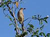 BOWERBIRD GREAT M_20