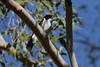 BUTCHERBIRD GREY_02