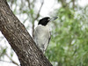 BUTCHERBIRD GREY_05