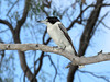 BUTCHERBIRD GREY_04