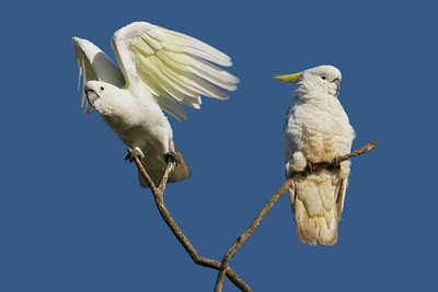 COCKATOO SULPHUR-CRESTED_22