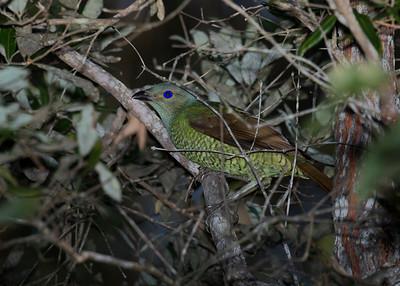 BOWERBIRD SATIN J_01