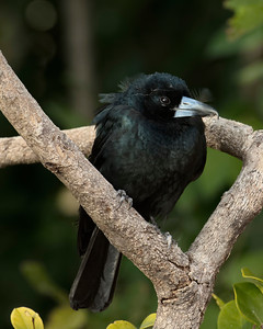 The Black Butcherbird roosting. Very interesting nictitating membrane.