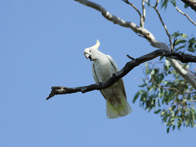 COCKATOO SULPHUR-CRESTED_09