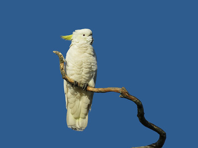 COCKATOO SULPHUR-CRESTED_25