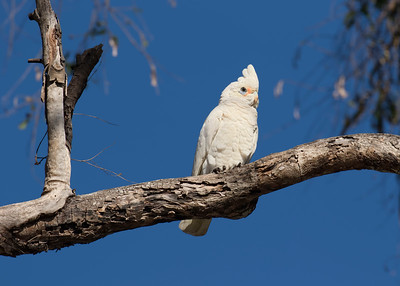 CORELLA LITTLE_11