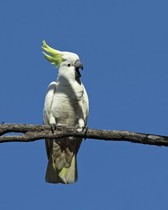 COCKATOO SULPHUR-CRESTED 11