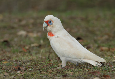 CORELLA LONG-BILLED 05 AN EXTREMELY RARE VISITOR TO OUR REGION IMAGE TAKEN ON A RAINY DAY    MAIN FLASH WITH BETTER BEAMER  ISO 200   1/250 on F8  EXP COMP  -1/3        FLASH EXP COMP    -1 1/3
