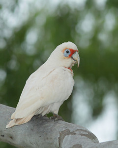 CORELLA LONG-BILLED 11 AN EXTREMELY RARE VISITOR TO OUR REGION IMAGE TAKEN ON A RAINY DAY    MAIN FLASH WITH BETTER BEAMER  ISO 200   1/250 on F8   EXP COMP  -1/3       FLASH EXP COMP    -1 1/3