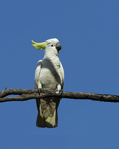 COCKATOO SULPHUR-CRESTED_10