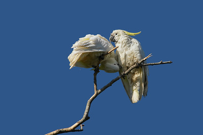 COCKATOO SULPHUR-CRESTED_21