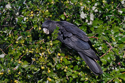 Female Red-tailed Black Cockatoo feeding on the seeds of a bush I am not familiar with.