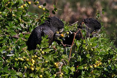 Female Red-tailed Black Cockatoos feeding on the seeds of a bush I am not familiar with.