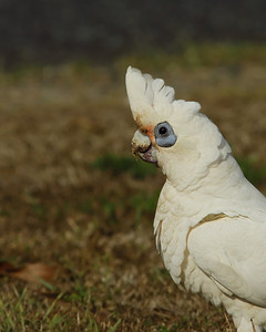 CORELLA LITTLE_10