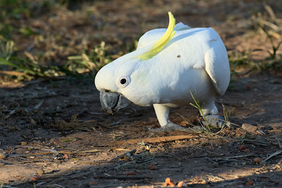 COCKATOO SULPHUR-CRESTED_26