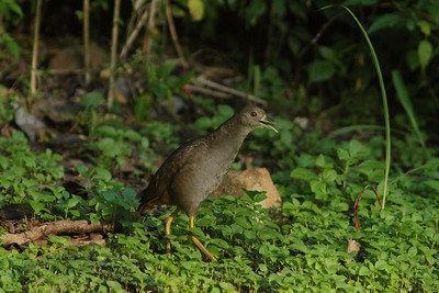 BUSH-HEN PALE-VENTED  04 IMAGE SHOT IN LOW LIGHT, JUST AFTER SUNRISE.