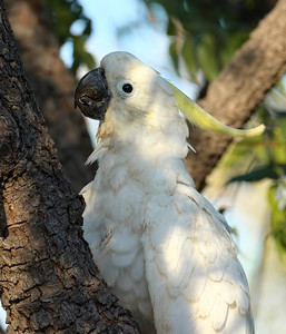 COCKATOO SULPHUR-CRESTED_28