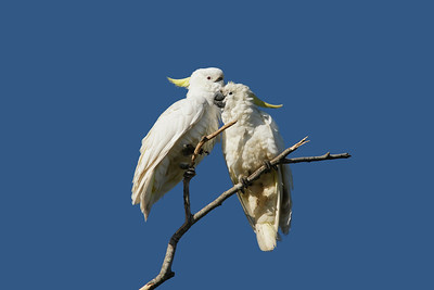 COCKATOO SULPHUR-CRESTED_17