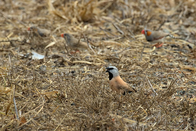 The critically endangered southern white-rumped Black-throated Finch. Seen here feeding with Zebra Finches.