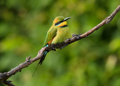 It pays to put a perch next to the birdbath, next to our patio. One never knows what will land there. Definitely a favorite perch for this male Rainbow Bee-eater. He would sit there, then dart off to snatch an insect off the grass and fly back, looking for the next prey.