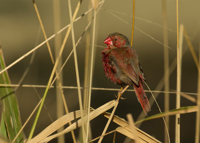 The small yet colourful Crimson Finches.
