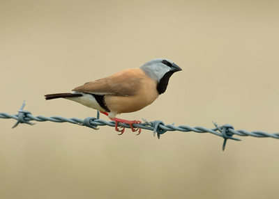 The critically endangered southern white-rumped Black-throated Finch.