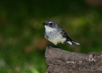 FANTAIL NORTHERN_01