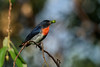 One of the tinniest  birds in Australia, the Mistletoebird. This is the colourful male.