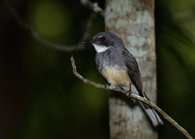FANTAIL NORTHERN_03