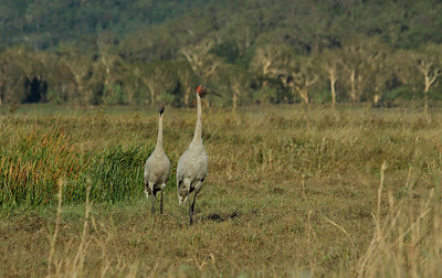 BROLGA 14  IN THE MORNING LIGHT