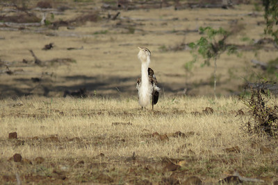 The male Bustard displaying, at sunrise.