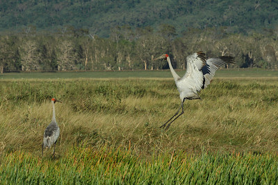 BROLGA MALE 04  DANCING AT SUNRISE