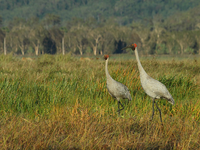 BROLGA 16  IN THE MORNING LIGHT