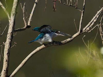 KINGFISHER COLLARED_12