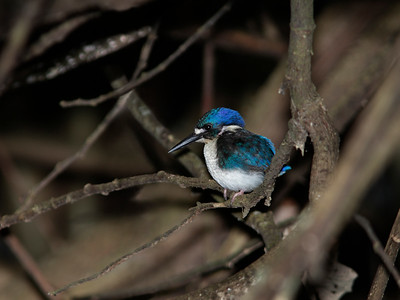 KINGFISHER LITTLE J 01 The world's second smallest kingfisher, Australia's tiny Little Kingfisher juvenile. Race Halli