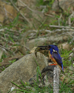 KINGFISHER AZURE  05 ONE VERY WET ADULT WITH A FRESHLY CAUGHT YABBIE ABOUT TO FEED IT'S YOUNG, PERCHED ON A NEARBY TREE, ALL FOUR OF THEM !