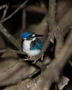 KINGFISHER LITTLE J 04 The world's second smallest kingfisher, Australia's tiny Little Kingfisher juvenile. Race Halli