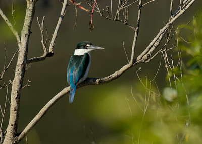 KINGFISHER COLLARED_13