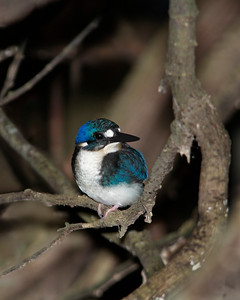 KINGFISHER LITTLE J 03 The world's second smallest kingfisher, Australia's tiny Little Kingfisher juvenile. Race Halli