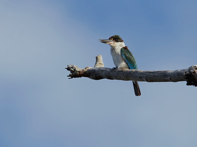KINGFISHER COLLARED_10P