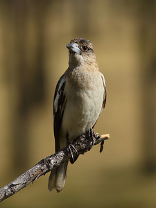 BUTCHERBIRD PIED J_13 IMAGE TAKEN VERY LATE IN THE DAY