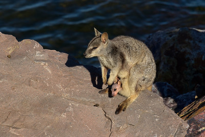 Late afternoon images of the small Allied Rock Wallabies.