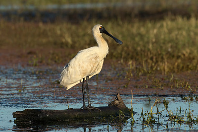 The Royal Spoonbill  at sunrise.