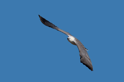 I stood on the edge of a shallow low tide pool, casually looking around, when a White-bellied Sea Eagle came from behind me. As it went over and past the eagle suddenly swerved and to my complete disbelief, flew three low circles around me, so close that I had to zoom out to keep in the frame and on the fourth pass it swooped down right in front of me, plucked up a stranded eel from the pool and flew off. One dazed and 140 shot plus happier photographer, a happy eagle and an eel that did not get the tides right. At Townsville recently.
